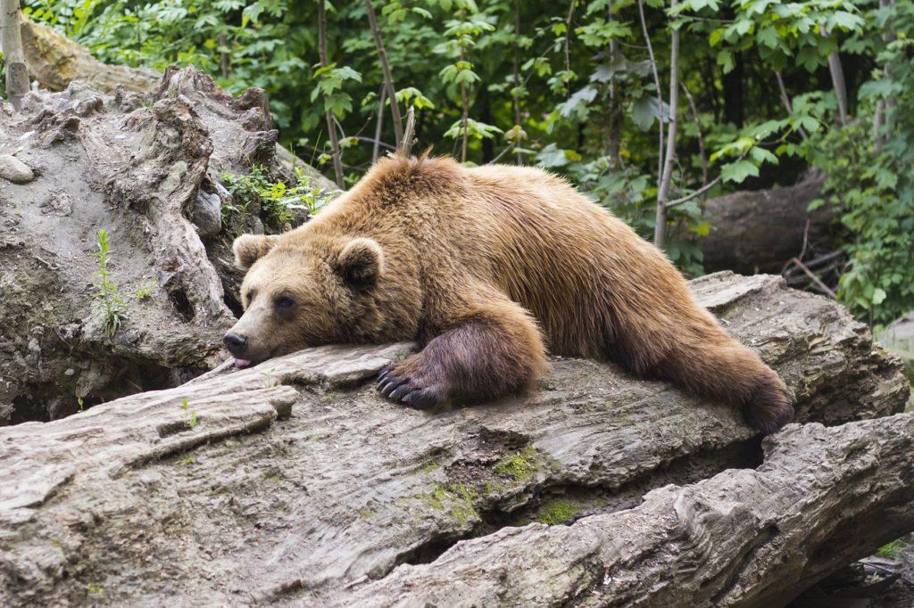 寝ているクマ